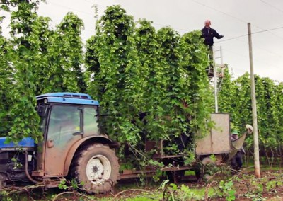 Celtic Marches Hop Harvest